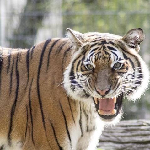 Tiger_Mek_141