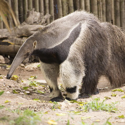 anteater_feature_2