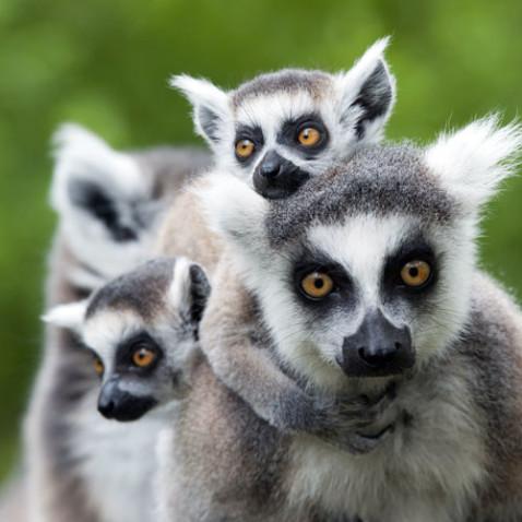 lemur_feature_2