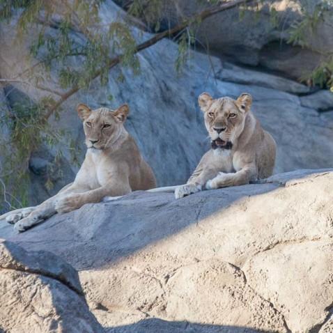 lion_conservation