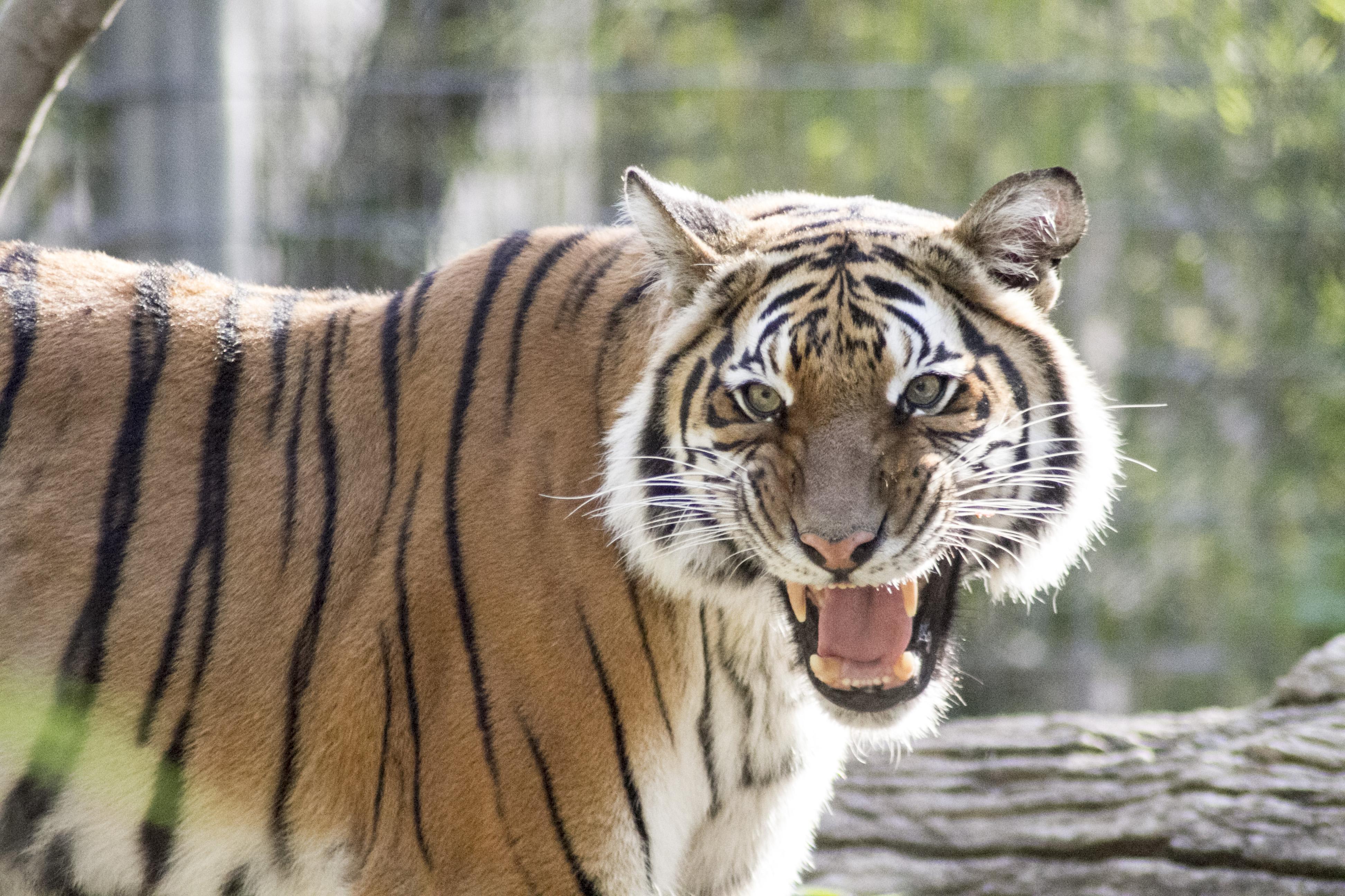 Malayan Tiger - Fresno Chaffee Zoo on amur tiger map, sumatran tiger map, dhole map, african tiger map, indochinese tiger map, chinese tiger map, caspian tiger map, tiger habitat map, golden tiger map, south china tiger map, malayn tiger map, asiatic cheetah map,