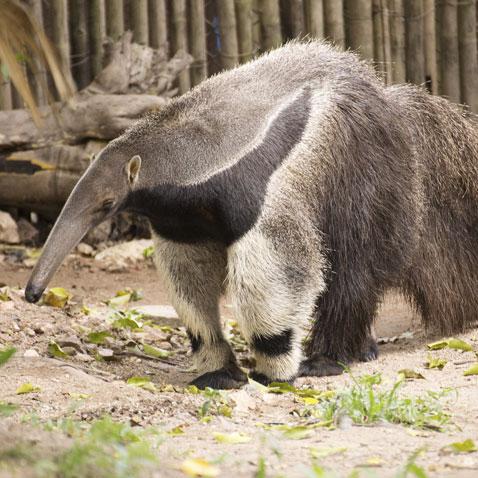 Image result for anteater