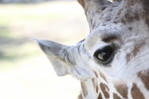 Giraffes028