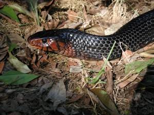 Snake, Indigo