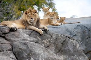 LionFamilyPortrait web